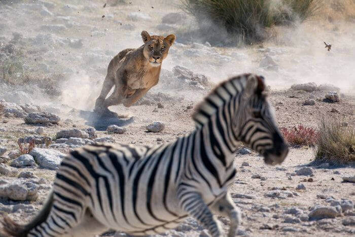 short stress in animals in the wild zebra running away from lioni